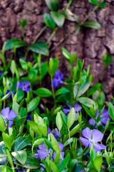 Pervinca vulgaris, fiori di colore blu chiaro close-up