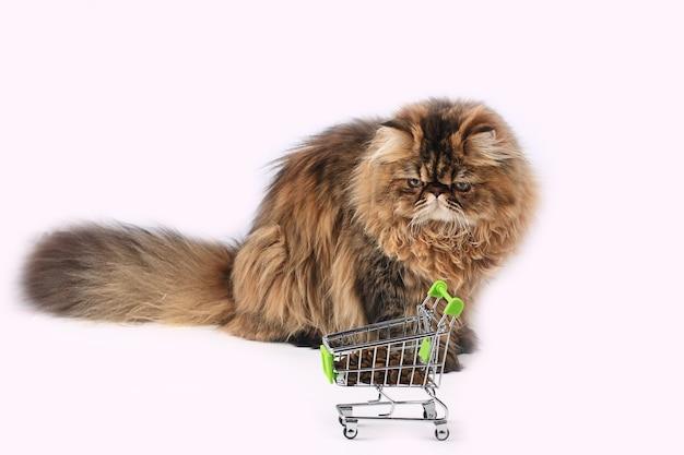Gatto persiano in posa a secco in bellissimo stile su sfondo bianco. simpatico animale domestico. sfondo della natura. pelliccia alla moda. gatto di razza. gattino soffice. zampa di gattino.