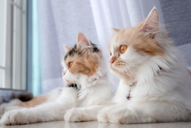 Gatti persiani che giace nella stanza