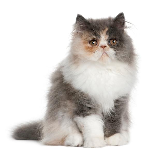 Gattino persiano, seduto di fronte a sfondo bianco