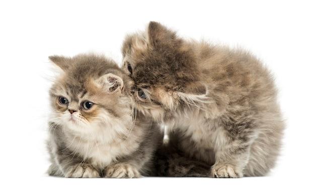 Gattini persiani che stringono a sé isolati su bianco