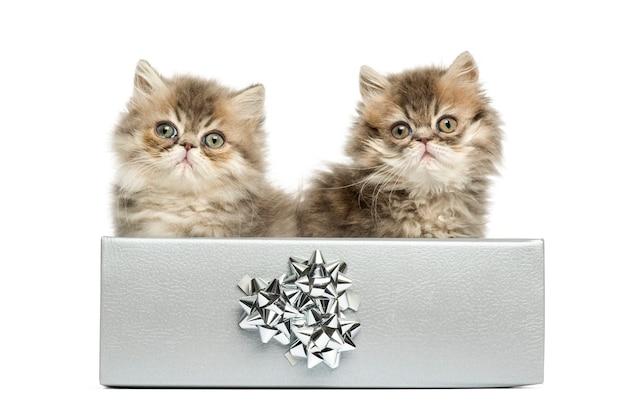Gattini persiani che si siedono in una casella presente d'argento, vecchio di 10 settimane, isolato su bianco