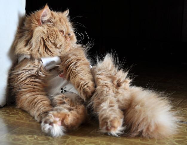 Gatto persiano rosso sterilizzato. sterilizzazione di un gatto dopo un intervento chirurgico con indumenti speciali