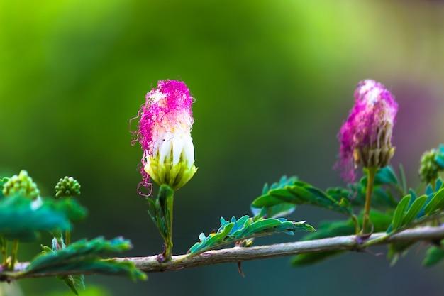 Fiore dell'albero della seta persiano o noto anche come albizia julibrissin in piena fioritura