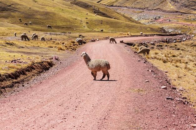 Alpaca peruviano nelle ande