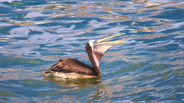 Il pellicano peruviano (pelecanus thagus) nuota sull'oceano pacifico vicino a lima, in perù. sud america