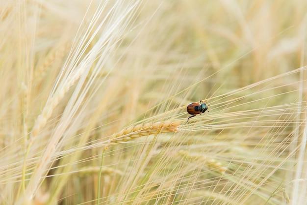 Kuzka dello scarabeo del pane dei parassiti su cereali