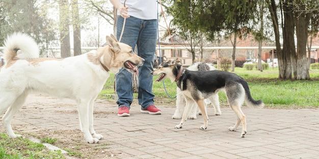 Cura degli animali. dog walker maschio professionista che cammina con un branco di cani sul sentiero del parco