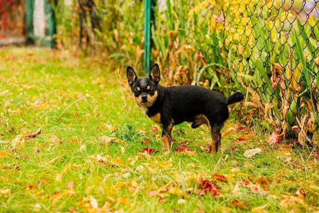 Chihuahua cane da compagnia cammina per strada. cane chihuahua per una passeggiata. chihuahua nero, marrone e bianco. cucciolo sveglio la mattina presto durante una passeggiata. il cane in autunno cammina in giardino o nel parco