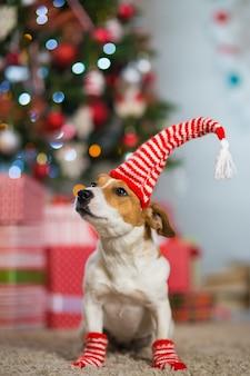 Il cane jack russell terrier festeggia il natale sotto l'albero di natale con calzini bianchi rossi a strisce