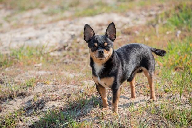 Il cane da compagnia cammina per strada. cane chihuahua per una passeggiata. chihuahua nero, marrone e bianco.