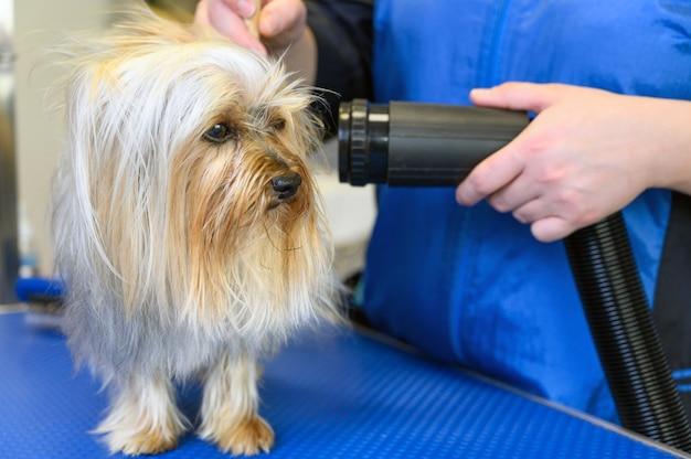 Il toelettatore asciuga i peli del cane con un asciugacapelli e pettina uno yorkshire terrier nel pet grooming salon.