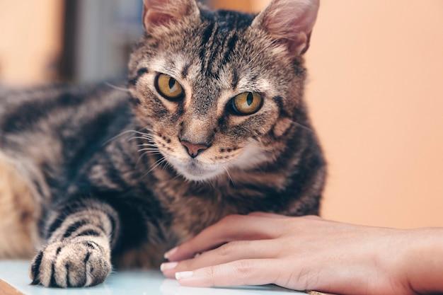La mano dell'animale domestico, il gatto di fronte alla telecamera, la zampa dell'animale domestico e la mano della donna, la mano della donna e la zampa del gatto.