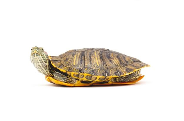 Cursore dalle orecchie rosse della tartaruga dell'animale domestico (trachemys scripta elegans) isolato su priorità bassa bianca.