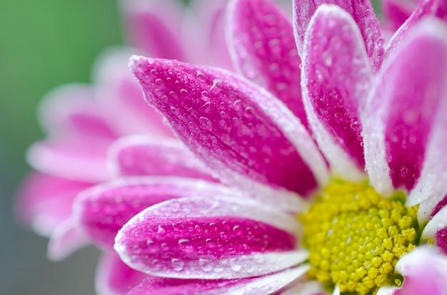 Petali di bellissimi fiori di crisantemo ricoperti di rugiada mattutina