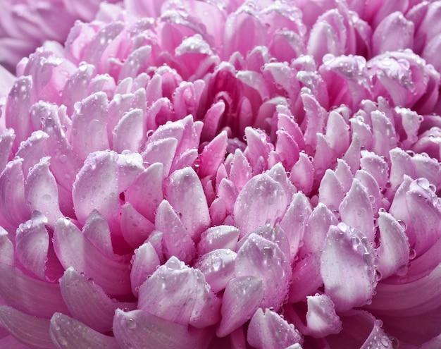 Petali di grandi crisantemi rosa in primo piano gocce di rugiada.