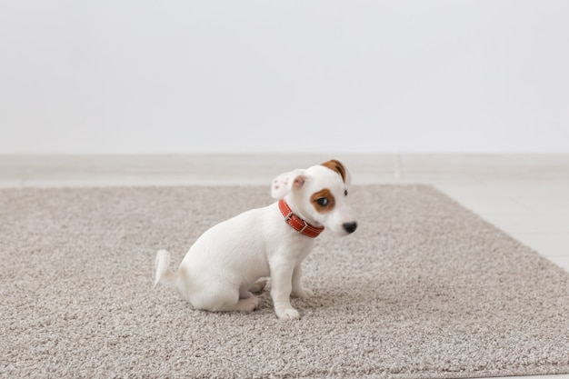 Animali domestici, animali e concetto domestico - piccolo cucciolo di jack russell terrier seduto su un tappeto in soggiorno