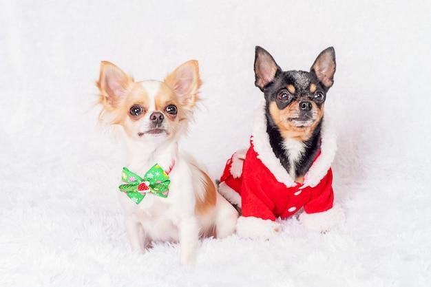Animali domestici e natale.due cani in abiti natalizi a casa su un plaid bianco.