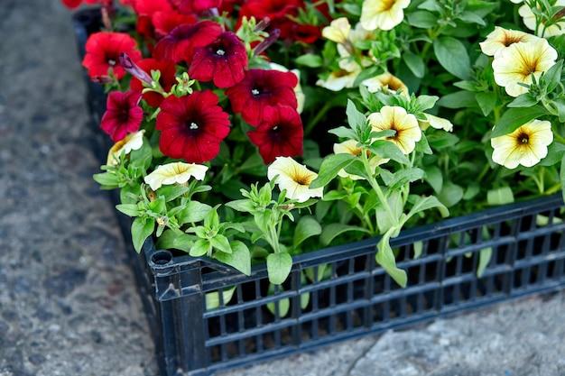 Fiori di petunia in casse di plastica nera garden center. scatole con piantine di fiori petunia per piantare all'aperto. lavori in giardino.