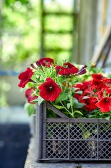 Fiori di petunia in casse di plastica nera garden center. scatole con piantine di fiori petunia per piantare all'aperto.