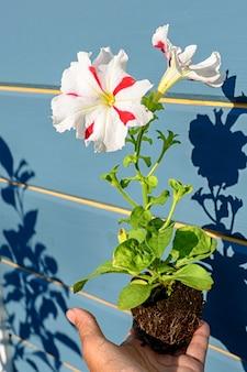 Piantina di petunia con un fiore bianco con strisce rosse nelle mani di un giardiniere. foto ravvicinata con ombre e messa a fuoco morbida selettiva
