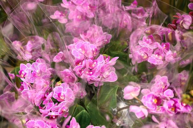 Phalaenopsis mini fiori di orchidea in piena fioritura vibranti colori rosa e bianchi si chiudono sul negozio di fiori