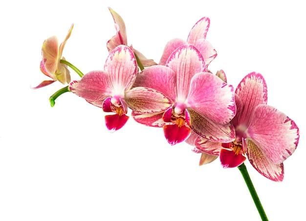 Fiori di orchidea phalaenopsis