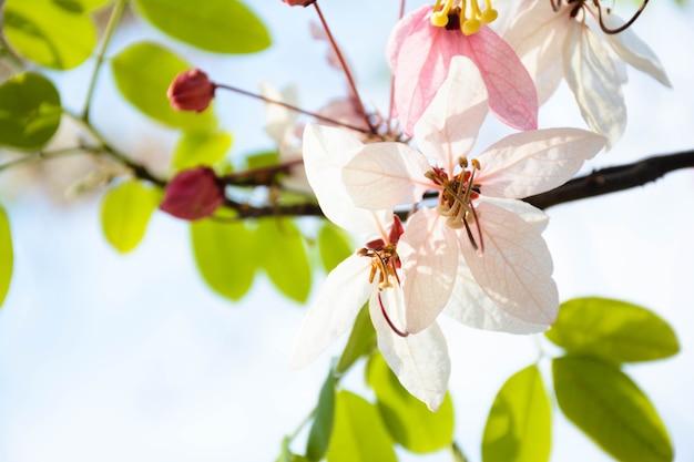 Phaya sua fiore,prunus cerasoides,prunus cerasoides in terra tailandese