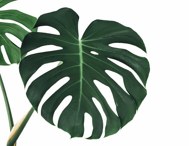 Philodendron monstera pianta a forma di cuore foglie verdi della pianta homalomena (homalomena rubescens) la pianta d'appartamento fogliame tropicale isolato su bianco,