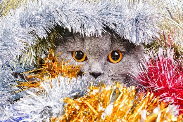 Foto di un bellissimo gatto scozzese in tinsel colorato.