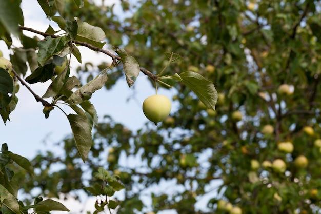 Foto di un primo piano delle mele immature verdi. piccola profondità di campo