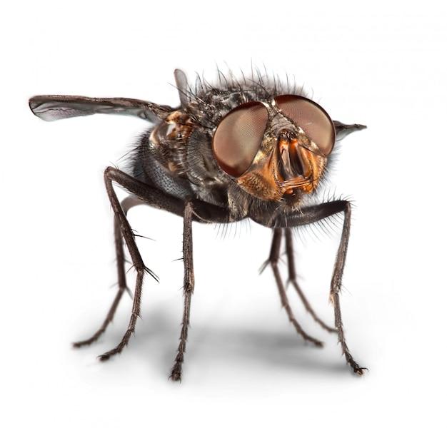 Foto di una fine della mosca in su sul bianco