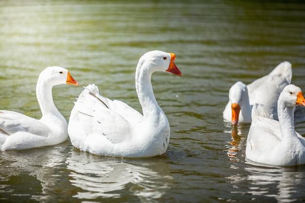 Foto di oche che nuotano sull'acqua