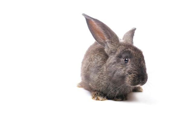 Coniglio grigio della foto su un bianco