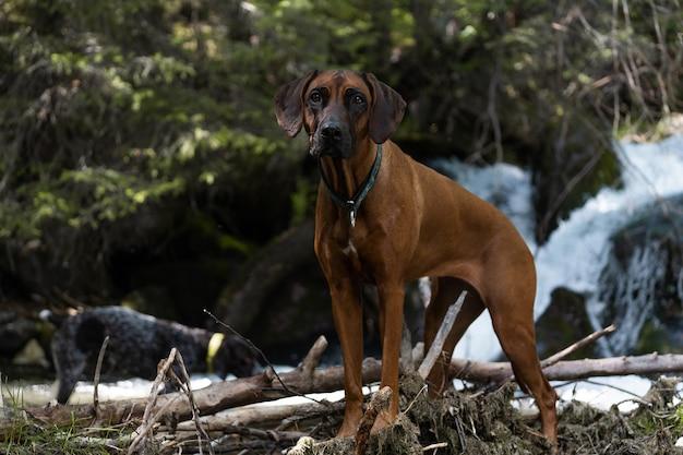 Nella foto c'è un cane rhodesian ridgeback che sta in piedi e osserva. la foto è stata fatta vicino al fiume walchen, sylvensteinstausee, baviera, germania.