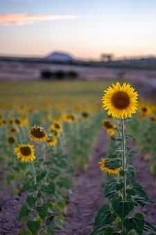 Foto di un paesaggio di un campo di girasoli in spagna