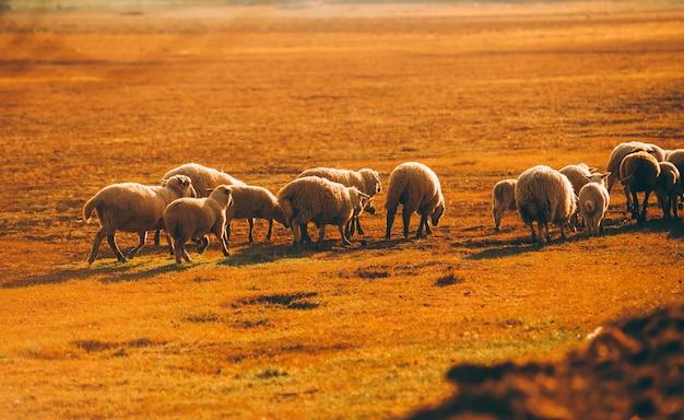Foto di pecore che mangiano sui terreni agricoli durante l'ora del tramonto nelle zone rurali