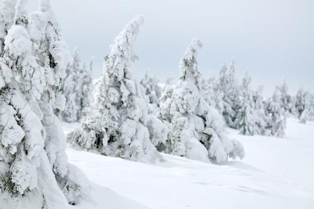 Foto di piccoli pini coperti di neve. sfondo chiaro, bellissimo paesaggio invernale