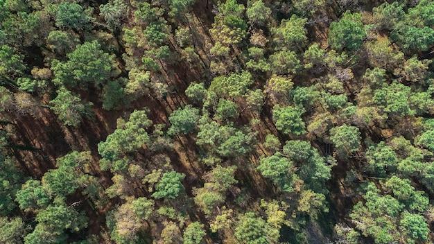 Foto sopra le cime della pineta. vista aerea, natura