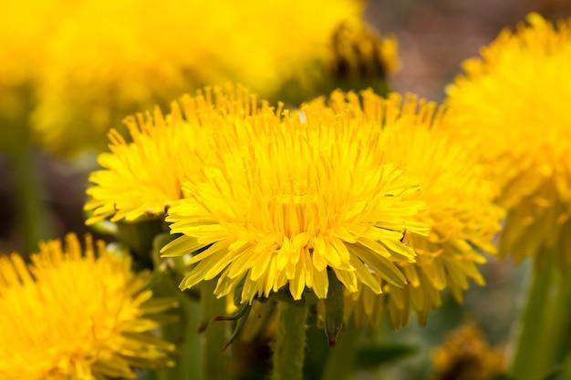 Foto di denti di leone gialli in estate o in primavera, dettagli di una bellissima pianta selvatica in fiore