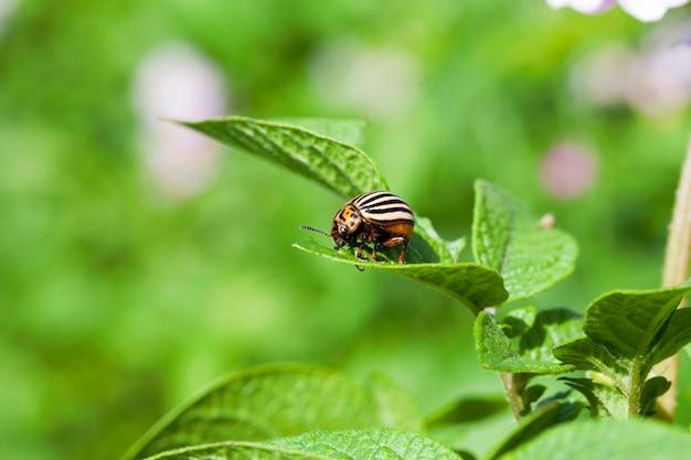 Scarabeo di colorado a strisce adulto fotografato del primo piano che si siede sul bordo del foglio verde di una patata che cresce sul campo agricolo. stagione estiva. piccola profondità di campo