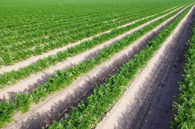 Primo piano fotografato di un campo agricolo su cui crescono i germogli verdi delle carote