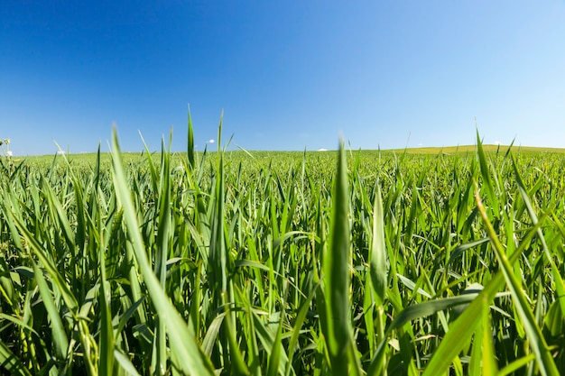 Fotografato close-up spighe di grano verde acerbo, profondità di campo