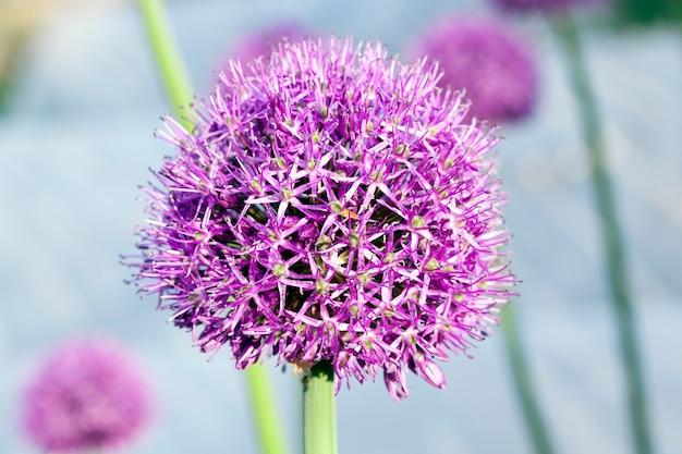 Primo piano fotografato di una cipolla rotonda del fiore che cresce nel campo agricolo e necessaria per i semi, una piccola profondità di campo.
