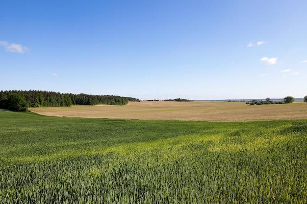 Primo piano fotografato verde erba immaturo. lo sfondo azzurro del cielo