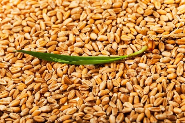 Primo piano fotografato di grano maturo dopo il raccolto