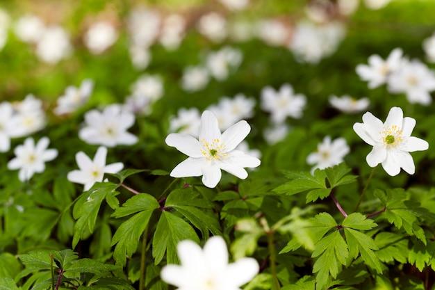 Fotografato da vicino fiori bianchi primaverili. foresta