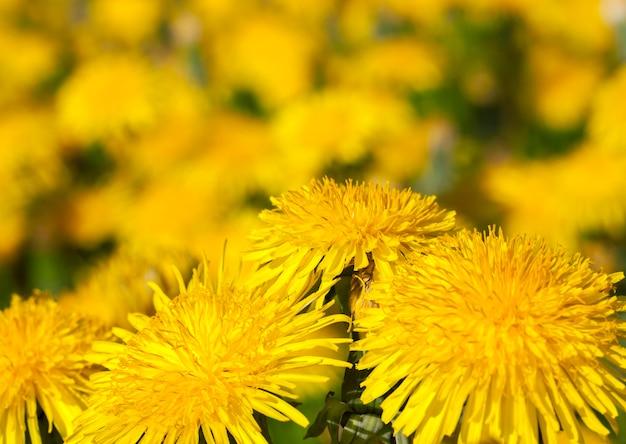 Primo piano fotografato dei denti di leone gialli in primavera, profondità del campo poco profonda