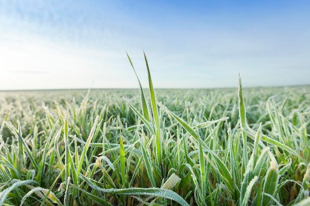 Fotografato vicino a erba giovane piante di grano verde che cresce sul campo agricolo, agricoltura, stagione autunnale,