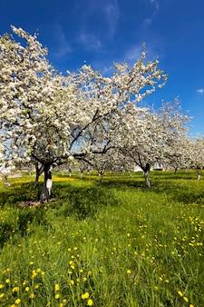 Fiori fotografati fiori di ciliegio bianchi